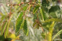 Mimosa_seed