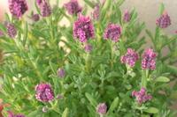 Lavender080329