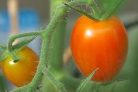 Aiko_tomato