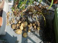 Potato2008
