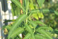 Silktree