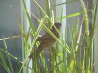 Sparrowsfeed