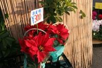 Poinsettia08