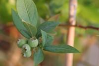 Blueberry090429