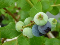 Blueberry090530