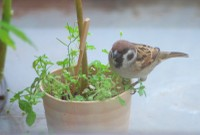 Chickweed_sparrow