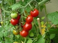 Mini_tomato