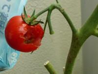 Yarareta_tomato