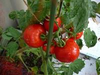 Tomato100711