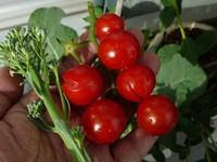 Tomato110611