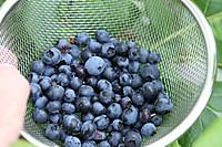 Blueberry20150705
