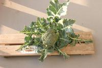 Brocco1harvest