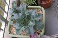 Broccoli061123