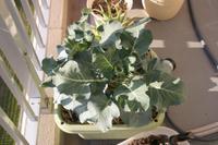 Broccoli061210