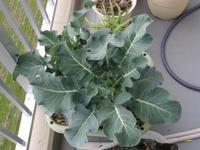 Broccoli061217