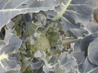Broccoli070120