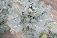 Broccoli_niwa