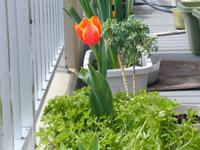 Tulip2020_1