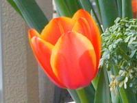 Tulip2020_up_1
