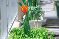 Tulip_can_1