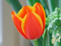Tulip_can_up