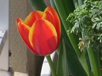 Tulip_dvm3_up