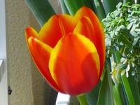 Tulip_lz1_up