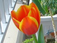 Tulipu30_up