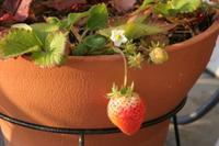 Winstrawberry