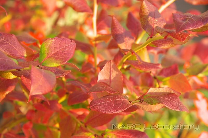 Redleaves_blueberry